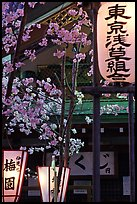 Lanterns and cherry blossoms on Nakamise-dori, Asakusa. Tokyo, Japan