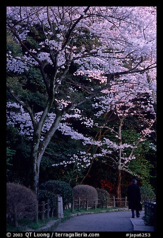 Tetsugaku-no-Michi (Path of Philosophy), a walkway lined up with cherry blossoms. Kyoto, Japan (color)