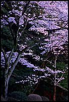Cherry trees along the Tetsugaku-no-Michi (Path of Philosophy) at dusk. Kyoto, Japan