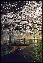 Bridge across a canal and cherry tree in bloom at night. Kyoto, Japan