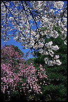Sakura flowers: branch of white and red blossoms. Kyoto, Japan (color)