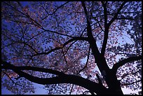 Cherry tree blossoming at sunset. Kyoto, Japan (color)