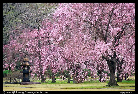 Pink Cherry trees on temple grounds. Kyoto, Japan (color)