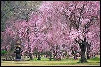 Pink Cherry trees on temple grounds. Kyoto, Japan