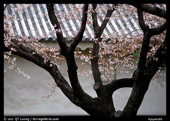 Trunk of cherry tree and temple wall. Kyoto, Japan (color)