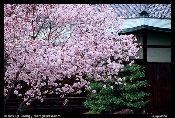 Sakura cherry blossoms and temple detail. Kyoto, Japan
