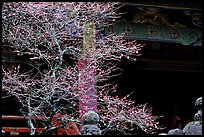 Delicate cherry tree and temple. Nikko, Japan (color)