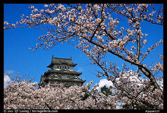 Branch with cherry flowers and castle. Himeji, Japan (color)