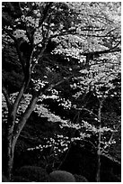 Cherry trees along the Tetsugaku-no-Michi (Path of Philosophy) at dusk. Kyoto, Japan ( black and white)