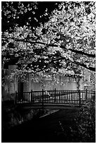 Bridge across a canal and cherry tree in bloom at night. Kyoto, Japan ( black and white)