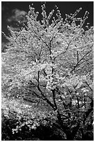 Sakura: flowering cherry tree. Kyoto, Japan (black and white)
