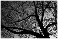 Cherry tree blossoming at sunset. Kyoto, Japan ( black and white)