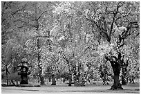 Pink Cherry trees on temple grounds. Kyoto, Japan (black and white)