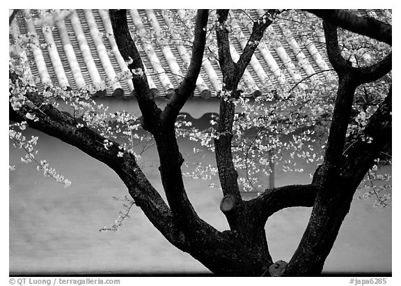 Trunk of cherry tree and temple wall. Kyoto, Japan (black and white)
