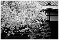 Sakura cherry blossoms and temple detail. Kyoto, Japan (black and white)