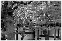 Cherry blossoms, pine tree, and temple wall, Sanjusangen-do Temple. Kyoto, Japan ( black and white)