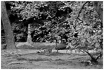 Garden with trees and mosses on the grounds of the Kinkaku-ji Temple. Kyoto, Japan (black and white)