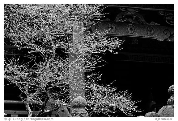 Delicate cherry tree and temple. Nikko, Japan (black and white)
