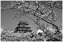 Branch with cherry flowers and castle. Himeji, Japan (black and white)