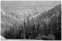 Pictures of Spruce Trees