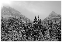 Conifer sand foggy peaks in winter. Banff National Park, Canadian Rockies, Alberta, Canada (black and white)