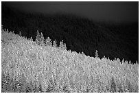Conifer forest in storm light. Banff National Park, Canadian Rockies, Alberta, Canada (black and white)