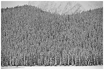 Hill with snowy conifers. Banff National Park, Canadian Rockies, Alberta, Canada ( black and white)