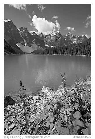 Fireweed and Moraine Lake, late morning. Banff National Park, Canadian Rockies, Alberta, Canada (black and white)