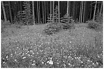 Red Painbrush and forest. Banff National Park, Canadian Rockies, Alberta, Canada (black and white)