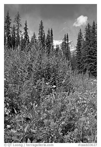 Painbrush and trees. Banff National Park, Canadian Rockies, Alberta, Canada (black and white)