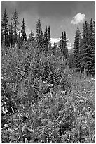 Painbrush and trees. Banff National Park, Canadian Rockies, Alberta, Canada ( black and white)