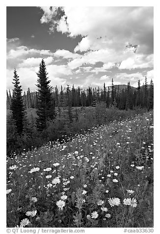 Meadow with Red paintbrush flowers and daisies. Banff National Park, Canadian Rockies, Alberta, Canada (black and white)