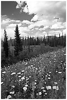 Meadow with Red paintbrush flowers and daisies. Banff National Park, Canadian Rockies, Alberta, Canada ( black and white)