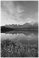 Wildflowers, Herbert Lake and  Bow range, morning. Banff National Park, Canadian Rockies, Alberta, Canada (black and white)