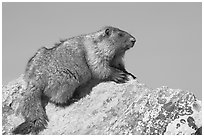 Marmot sitting on rock. Banff National Park, Canadian Rockies, Alberta, Canada (black and white)