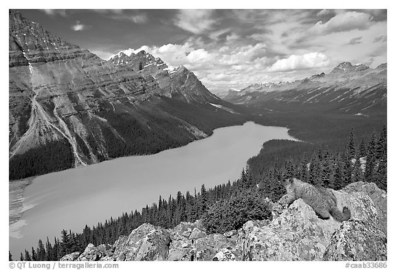 Marmot overlooking Peyto Lake, mid-day. Banff National Park, Canadian Rockies, Alberta, Canada