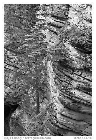 Trees and canyon walls,  Athabasca Falls. Jasper National Park, Canadian Rockies, Alberta, Canada (black and white)