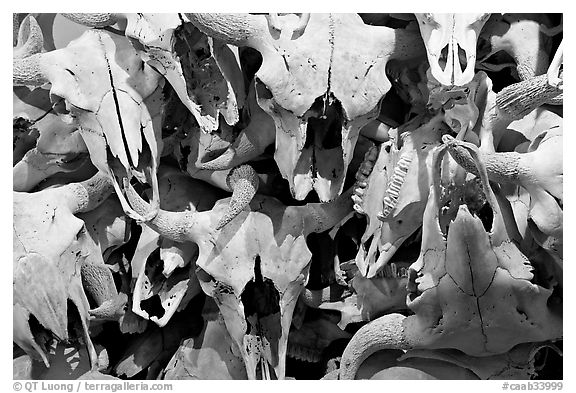 Buffalo skulls, Head-Smashed-In Buffalo Jump. Alberta, Canada (black and white)