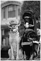 Two performing dogs. Victoria, British Columbia, Canada (black and white)