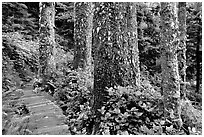 Boardwalk and trees in rain forest. Pacific Rim National Park, Vancouver Island, British Columbia, Canada (black and white)