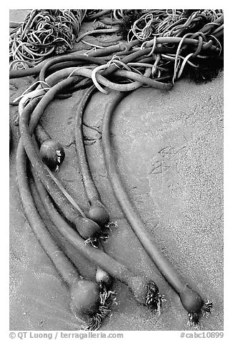 Beached kelp. Pacific Rim National Park, Vancouver Island, British Columbia, Canada (black and white)