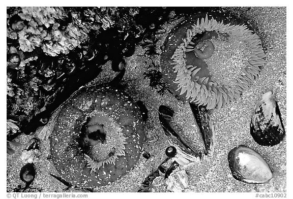 Green anemones and shells exposed at low tide. Pacific Rim National Park, Vancouver Island, British Columbia, Canada (black and white)