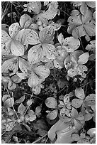 Leaves and berries,  Uclulet. Vancouver Island, British Columbia, Canada (black and white)
