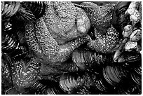 Sea stars and mussels,  South Beach. Pacific Rim National Park, Vancouver Island, British Columbia, Canada (black and white)