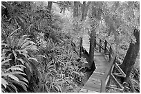 Boardwalk in rain forest. Pacific Rim National Park, Vancouver Island, British Columbia, Canada ( black and white)