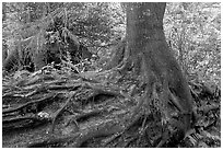 Tree growing on a nurse log. Pacific Rim National Park, Vancouver Island, British Columbia, Canada ( black and white)