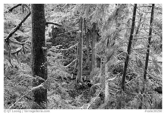 Western Hemlock, red cedars, and firs on the trail to Schooner Point. Pacific Rim National Park, Vancouver Island, British Columbia, Canada (black and white)