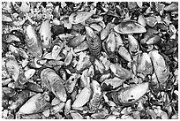 Mussel shells on beach. Pacific Rim National Park, Vancouver Island, British Columbia, Canada (black and white)
