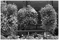 Hanging Flower baskets. Victoria, British Columbia, Canada ( black and white)