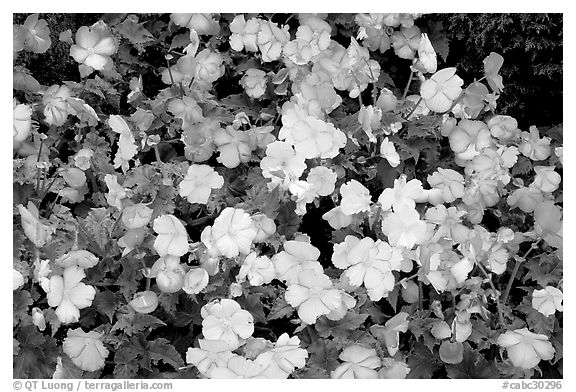 Pink and white begonias. Butchart Gardens, Victoria, British Columbia, Canada (black and white)